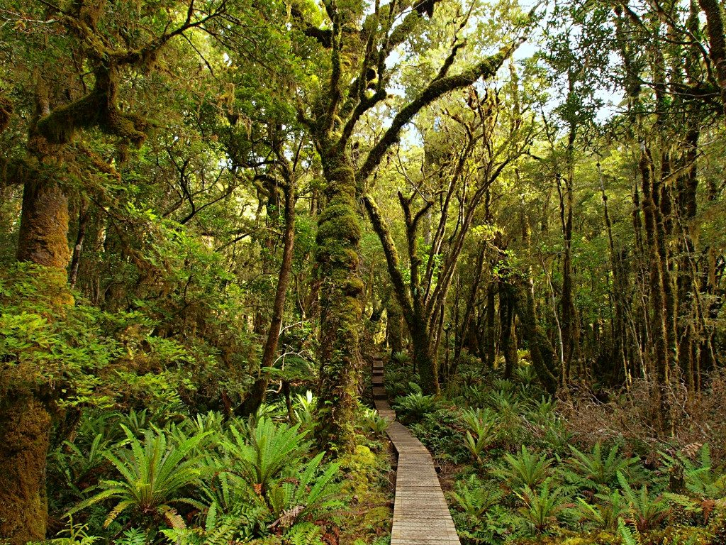 Hump Ridge Track ~ Board Walk through the Trees