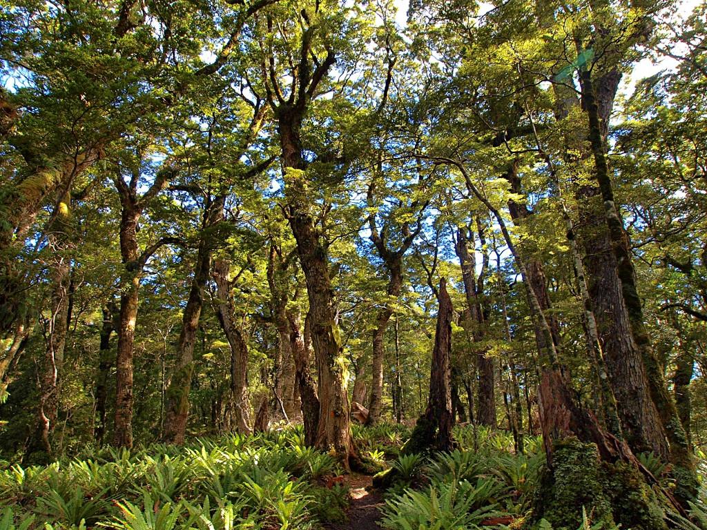 Hump Ridge Track ~ Trees and Ferns